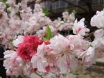 桃の花(アップ)